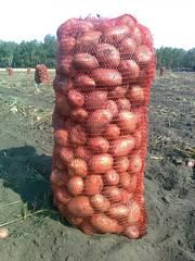 Продаю молодой картофель оптом в краснодарском крае